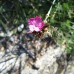 Dianthus neglectus